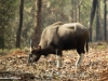 Indian Gaur - Female