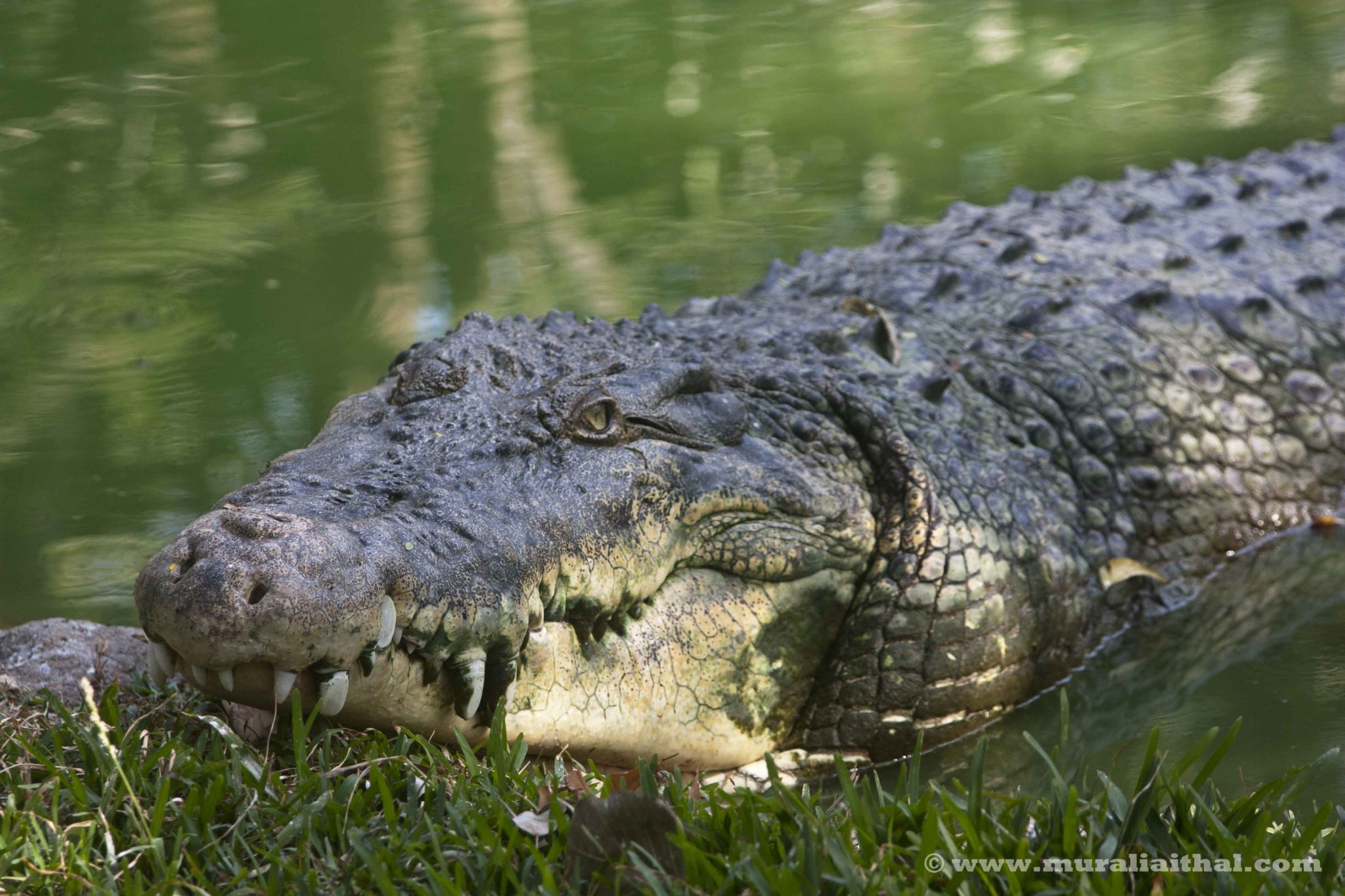 crocodile vs alligator Crocodiles and alligators are completely two different creatures the many differences between these two are shown here in a simple comparison table.
