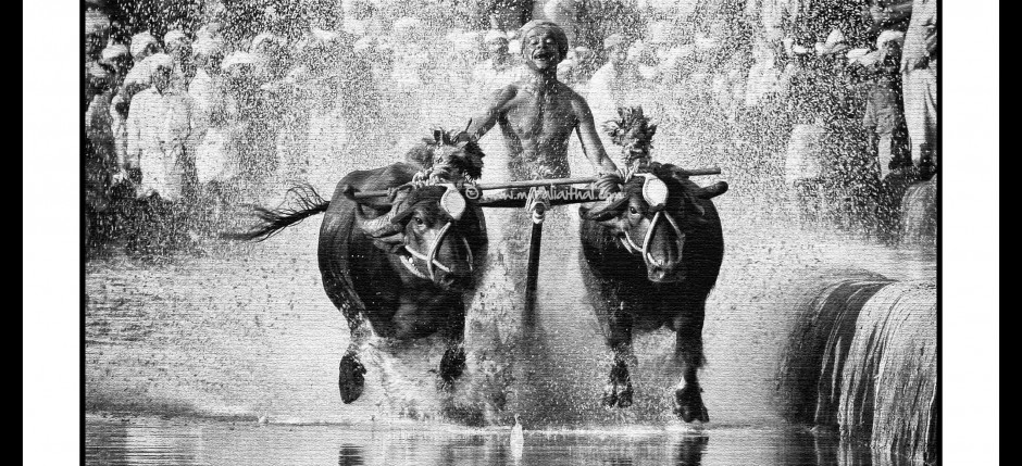 Kambala - Buffalo Race
